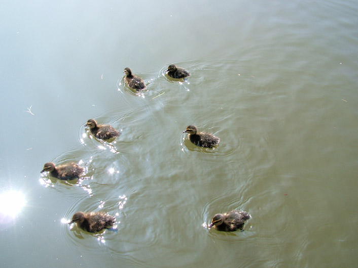 Aww, little duckies ;)
