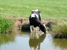 Another thirsty cow